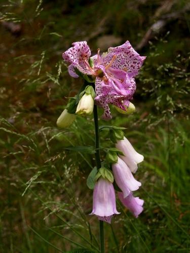 Kolem se začínají trousit němečtí turisti a já zaklekávám k fotce této kyti. Je podobná náprstníku, ale kvete shora (náprstník digitalis rozkvétá postupně zdola)a květ je víc rozťáplý.