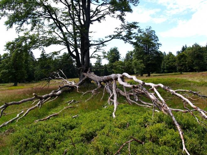 Občas je les střídán pasekou, dnes ale zde nahoře u hranic v Německu již nikdo nebydlí. Zbývají jen věkovité stromy rozeseté po horských lukách.
