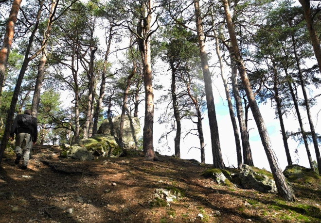 K vrcholu Kamenné báby vede pěšinka borovým lesem.