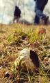 Pýchavka přeživší zimu.