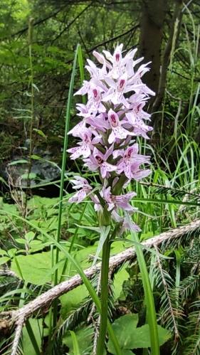 Orchidej prstnatec májový.