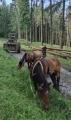 Tažní koně pod Zaječí horou.