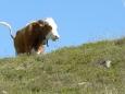 Kráva alpská