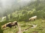 Už se začalo cestou dolů rozednívat, úzkou pěšinku nám však zabrali krávy, jež se navíc nedali dobře obejít.