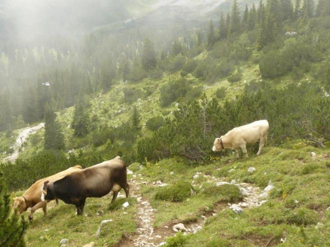 Už se začalo cestou dolů rozednívat, úzkou pěšinku nám však zabraly krávy, jež se navíc nedaly dobře obejít.