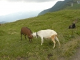 Dvě kozy se perou o kozla... pěkně vychlazeného :).