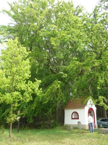 Památný strom s kapličkou