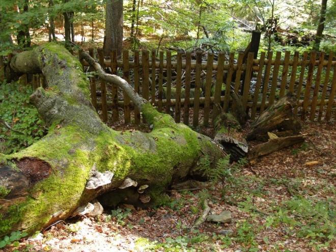 Po ní už se jde celkem po rovině, kolem jsou padlé kmeny po obou stranách plotu.