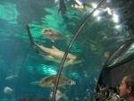 V tom největším se můžeme dostat až pod bílá břicha žraloků, mant a dalších velkých ryb oceánů. Chlubí se počtem přes 11000 mořských živočichů v šesti milionech litrů vody. Hlavním tunelem pod vodou dlouhým 80 metrů se pohybujeme po pojízdném chodníku.