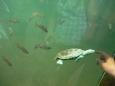 Rybičky se želvičkou