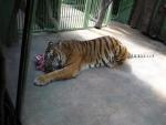 Tygřík hoduje