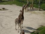 Páreček žiraf