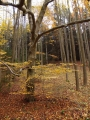 Buky, buky a zase buky. Chodit v jejich spadaném listí mě kdysi inspirovalo i k této poetické vložce...