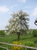 Krásný strom v období května